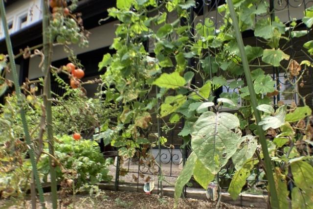 球磨杉の舎の畑仕事 ~夏野菜の収穫~